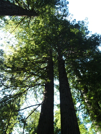 Aptos Blue Redwood. Aptos blue redwoods in