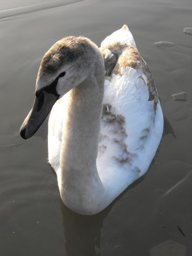Young swan