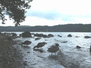 Ducks on Windermere